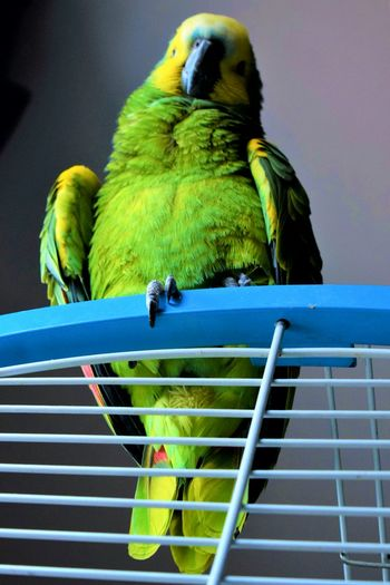 Animal Themes Bird One Animal Budgerigar Cage No People Parrot Low Angle View Animal Wildlife Perching Animals In The Wild Outdoors Close-up Pets Day Mammal