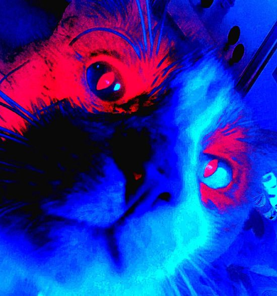 Portrait Blue Looking At Camera Multi Colored Close-up Futuristic Eyeball Eyesight Pets No People Cat Domestic Animals Horatio selfie 😻