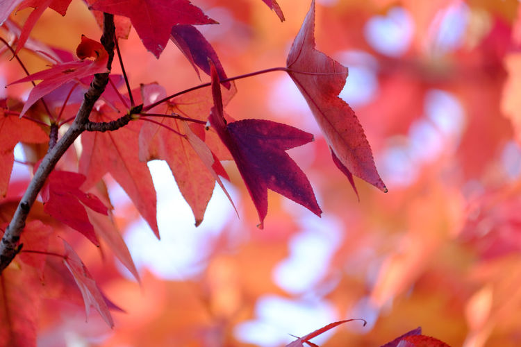 あきいろ:RED Fujifilm_xseries FUJIFILM X-T1 Fukuoka EyeEm Gallery EyeEm Best Shots Beauty In Nature Kitakyushu Japan Taking Photos Light And Shadow Nature アメリカ楓 Leaf Autumn Collection Red