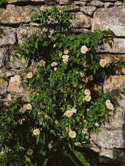 France Relaxing Rhône Travel Countryside Flowering Plant Growth Plant Roses South Of France Summer Travel Destinations Vacation Vine Wall