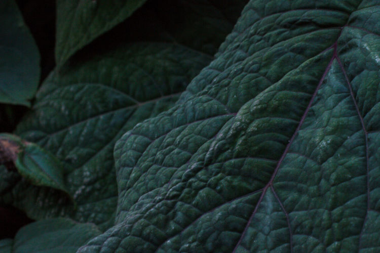 Leaf veins in Melbourne winter Green Color Plant Part Leaf Close-up No People Nature Plant Leaf Vein Natural Pattern Beauty In Nature Textured  Pattern Outdoors Leaves