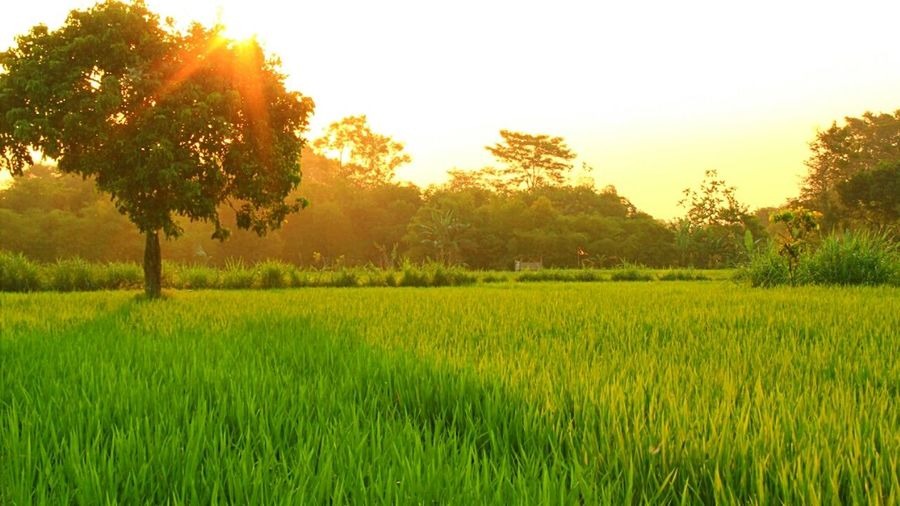 Sawah Nature Nature_collection Nature Photography Sawah. INDONESIA. Natural Beauty Septhynephotos Green Green Green!  Forest Photography Indonesiannature