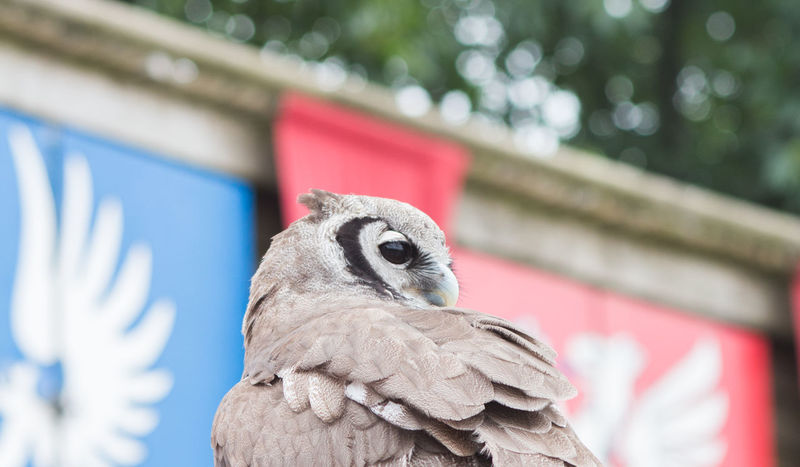 Animal Head  Animal Themes Bird Close-up Focus On Foreground One Animal Owl Perching Portrait Puy Du Fou