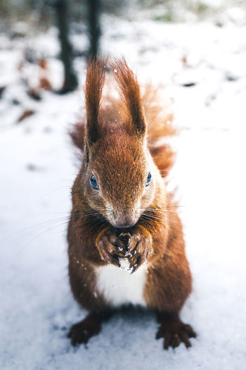 Close-up of squirrel on snow