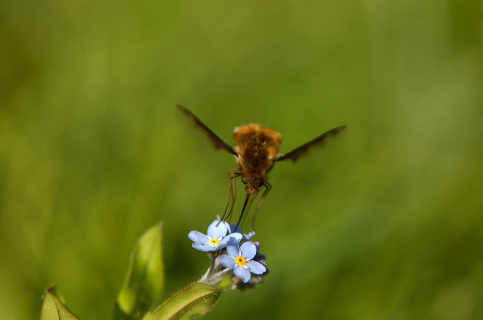 Bee fly collecting nectar - different view... Insect Flower Animals In The Wild Nature No People Animal Wildlife Animal Themes Plant Green Color Outdoors Beauty In Nature Fragility Full Length Close-up Day Freshness Pollination Macro Macro Insects Bee Fly Wollschweber Forget-me-not Flower Head Flapping Wings Animal Portrait