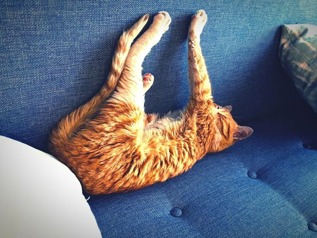 Cat Cat Lovers Catsofinstagram Catoftheday Catsagram Stretch Stretching Couch Sofa Blue Softness Comfy  Comfortable Chat Animal Animal Themes Animal Photography