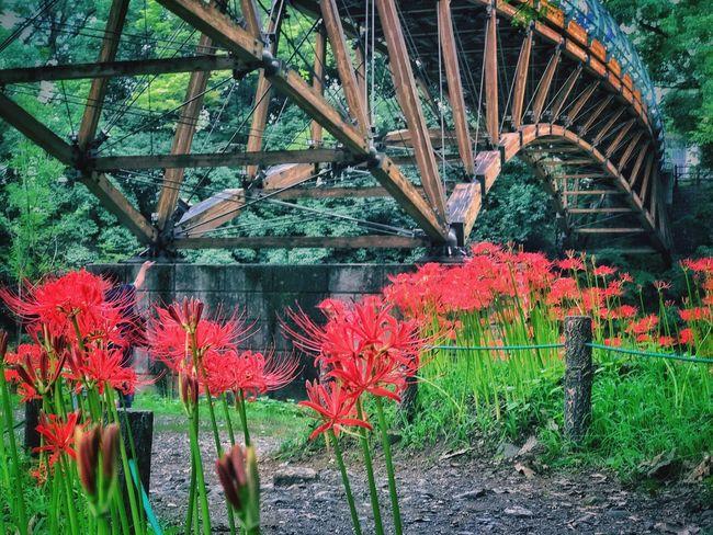 夢の架け橋 Flower Growth Plant Nature Day Beauty In Nature No People Outdoors Red Freshness Fragility Flower Head 曼珠沙華 Beautiful Day From My Point Of View IPhoneography 巾着田 Beauty In Nature