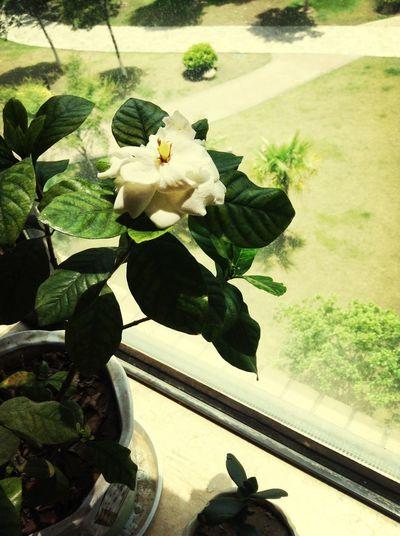 Gardenia?