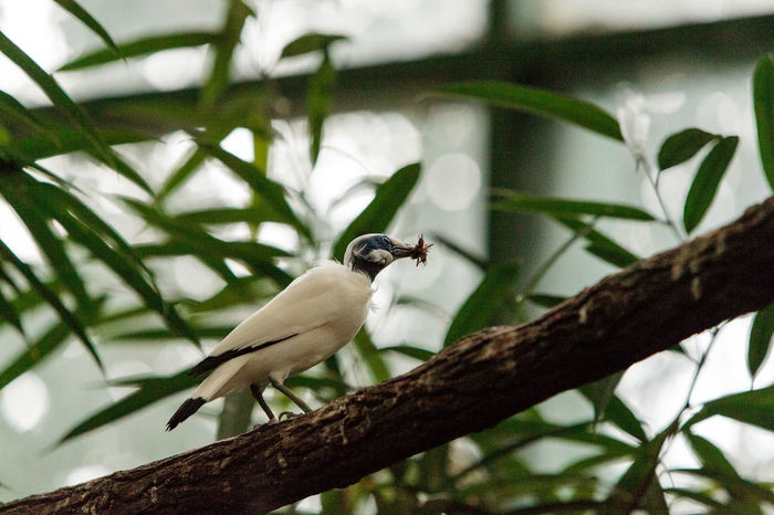 Bali myna bird Leucopsar rothschildi can be found in the woodlands on Bali, Indonesia Bali Myna Leucopsar Rothschildi Myna Animal Themes Animal Wildlife Animals In The Wild Bird Branch Close-up Cricket Day Focus On Foreground Low Angle View Nature No People One Animal Outdoors Perching Tree