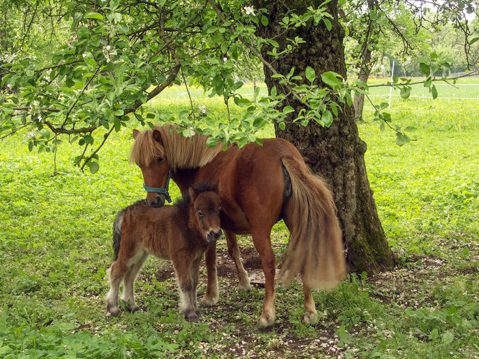 Mother luck - Mini horse with child Countryside Little Horse Mini With Mini Orchard Meadow Farm Idyll Blossom Rottal-Inn Pony Pferdefotografie Pferde Minipferd Horse Domestic Tree Plant Field No People Two Animals Nature Animal Domestic Animals Animal Family Horse Photography  Bavaria Animals In The Wild