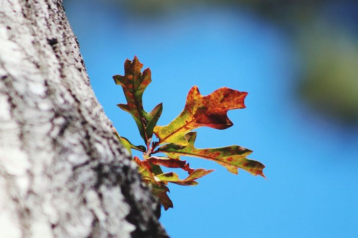 Struggling Canonphotography Things In My Back Yard Popular Photos Leaves Fall Color Leaf Blue No People Outdoors Nature Branch Beauty In Nature Low Angle View Sky Shades Of Winter