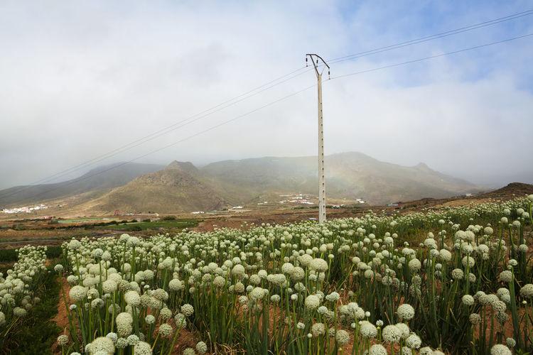 Campo de cebollas en el municipio de Gáldar en la isla de Gran Canaria. Canarias Cebollas Gran Canaria Gáldar SPAIN Agriculture Beauty In Nature Europe Landscape Plantation Rural Scene Sky Tranquil Scene
