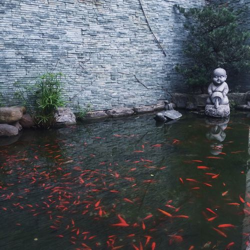 Fishes swimming in pond