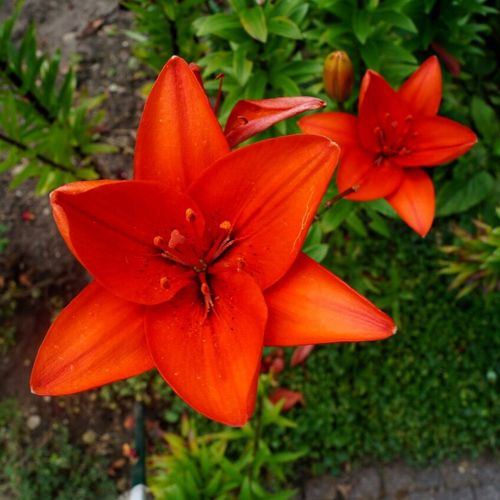 Flower Growth Petal Flower Head Fragility Plant High Angle View Beauty In Nature Nature Day Freshness Close-up No People Blooming Outdoors Red Color