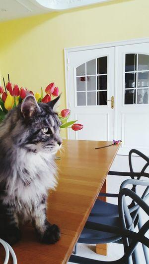 Louie Pets Portrait Luxury Cute Domestic Cat Cat Kitten Whisker Maine Coon Cat Yellow Eyes Feline