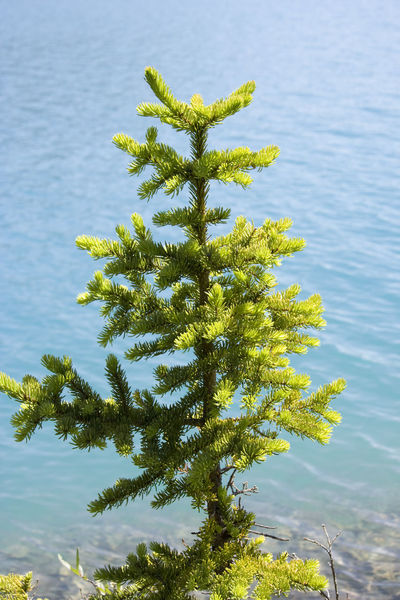 young fir tree on bow lake - canadian rockies, banff national park Alpine Banff National Park  Beauty In Nature Beginnings Bonsai Bow Lake Canada Close-up Coniferous Tree Fir Tree Flora Fragility Growth Lake Nature No People Pinaceae Plant Single Tree Small Tranquility Tree Turquoise Water Young Tree