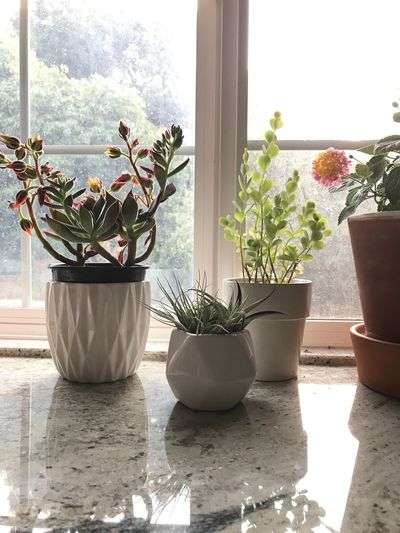 Natural Light Foggy Day Foggy Morning Foggy Window Light Countertop Kitchen Plant Potted Plant Growth Nature Window Day Sunlight No People Indoors  Flower Pot Succulent Plant Flower Cactus Decoration Flowering Plant Gardening Houseplant