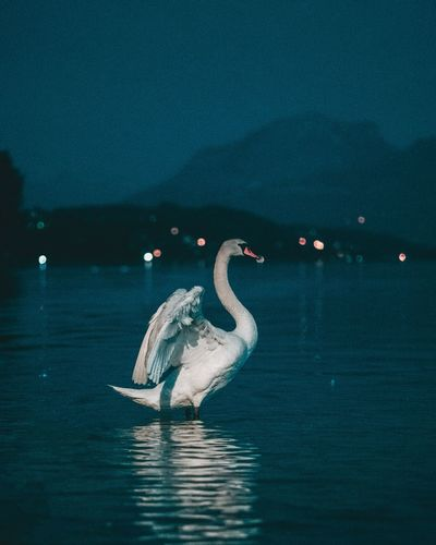 Swan swimming in lake at night