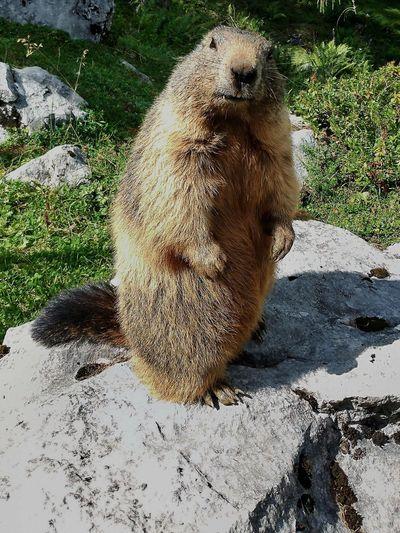 Alps Animal Nature Cute