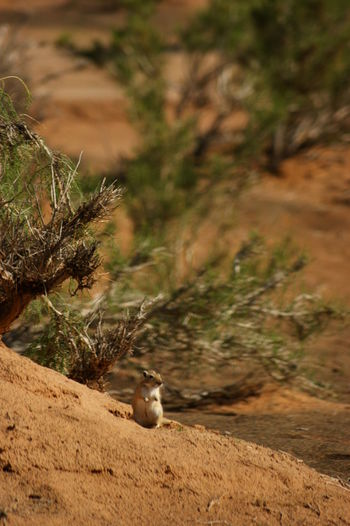 Gobi Desert Mongolia Saxaul Trees Animal Themes Animal Wildlife Animals In The Wild Day Focus On Foreground Ground Squirrel Land No People One Animal Outdoors Rodent Ziesel Говь- Монгол улс