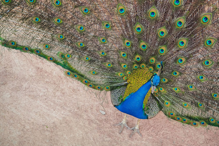 High angle view of peacock standing on field