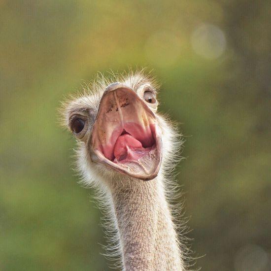 • O sole mio... • Ostrich Animal Themes Close-up Nature Zoo EyeEm Nature Lover EyeEm Birds EyeEm Best Shots - Nature Nikon EyeEm Masterclass