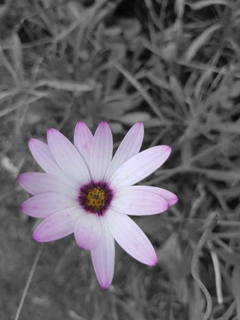 EyeEm Selects EyeEmNewHere EyeEm Best Shots EyeNatureLover Flower Head Flower Osteospermum Petal Pink Color Pollen Close-up Plant Coneflower In Bloom Stamen Eastern Purple Coneflower Crocus