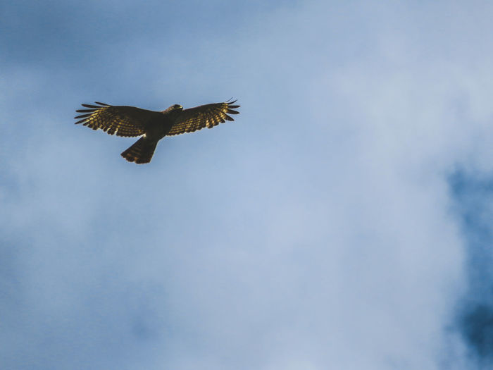 Hawk in nature in flight Hawk In Nature Hawks Hawk Hawk - Bird Florida Nature Hawks Of Eyeem Wildlife Wild Hawk Bird Spread Wings Bird Of Prey Flying Sky