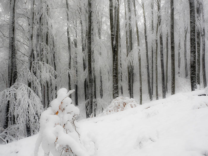 Winter Forest Snow Tree Covering White Color Trunk Tree Trunk Nature Scenics - Nature Snowing Outdoors WoodLand Beauty In Nature Cold Temperature No People Tranquil Scene Tranquility Plant Non-urban Scene