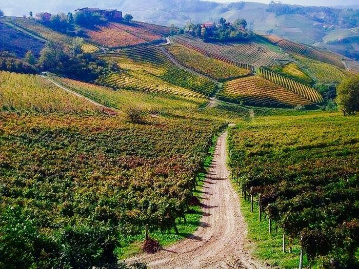 Langhe Landscape vineyards Love ♥ in vino veritas The Way Of Wine