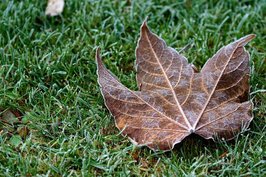 Autumn Nature Leaf Grass Outdoors High Angle View Day No People Close-up Maple Leaf Beauty In Nature Maple Tadaa Community OpenEdit