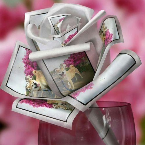Dog Sibainu🌠Lan EyeEm Selects EyeEm Gallery EyeEm Flower Perfume Gift Females Close-up