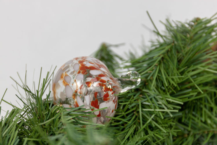 Close-up of christmas plant against white background