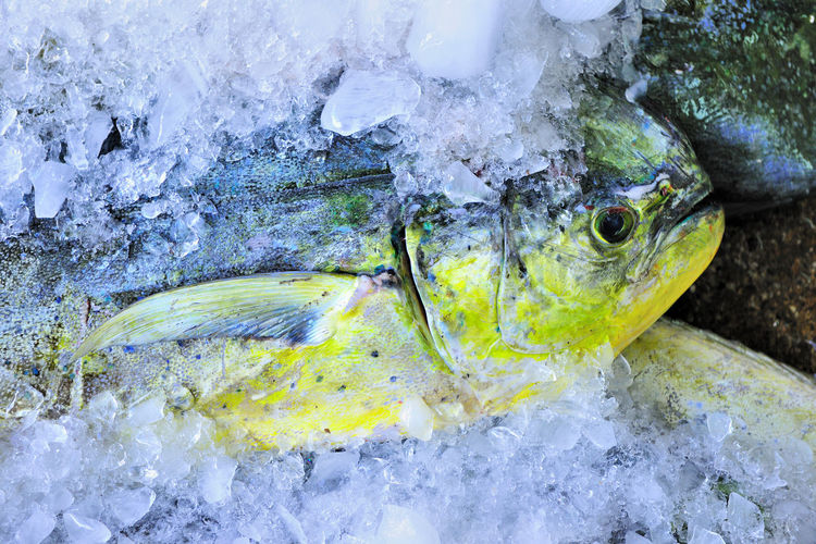 Auction Capture Close-up Cold Temperature Day Fish Food Fresh Ice Ingredients Nature No People Reward Seafood Treat Water