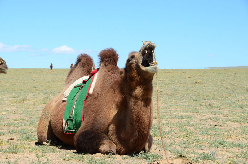 Bactrian Camel Roaring While Sitting In Grassy Field