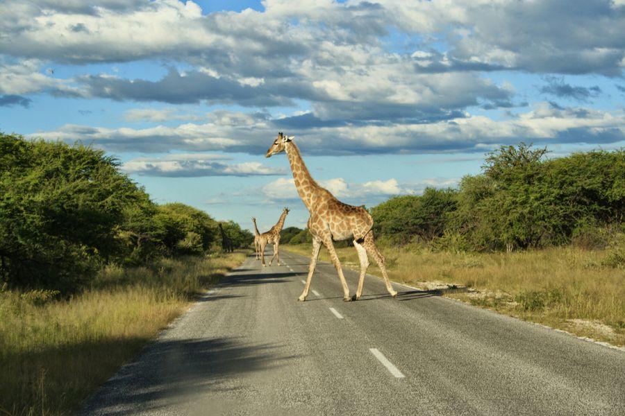 Etosha Namibia Giraffe natur Mario's Namibia
