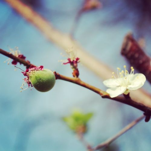 Close-up Growth In Bloom Nature Peach Blossom Tiny Green Peach Twig White Blossoms