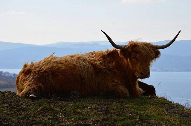 Happy highland coo.Loch Fyne Highland Highland Cattle View WestCoast