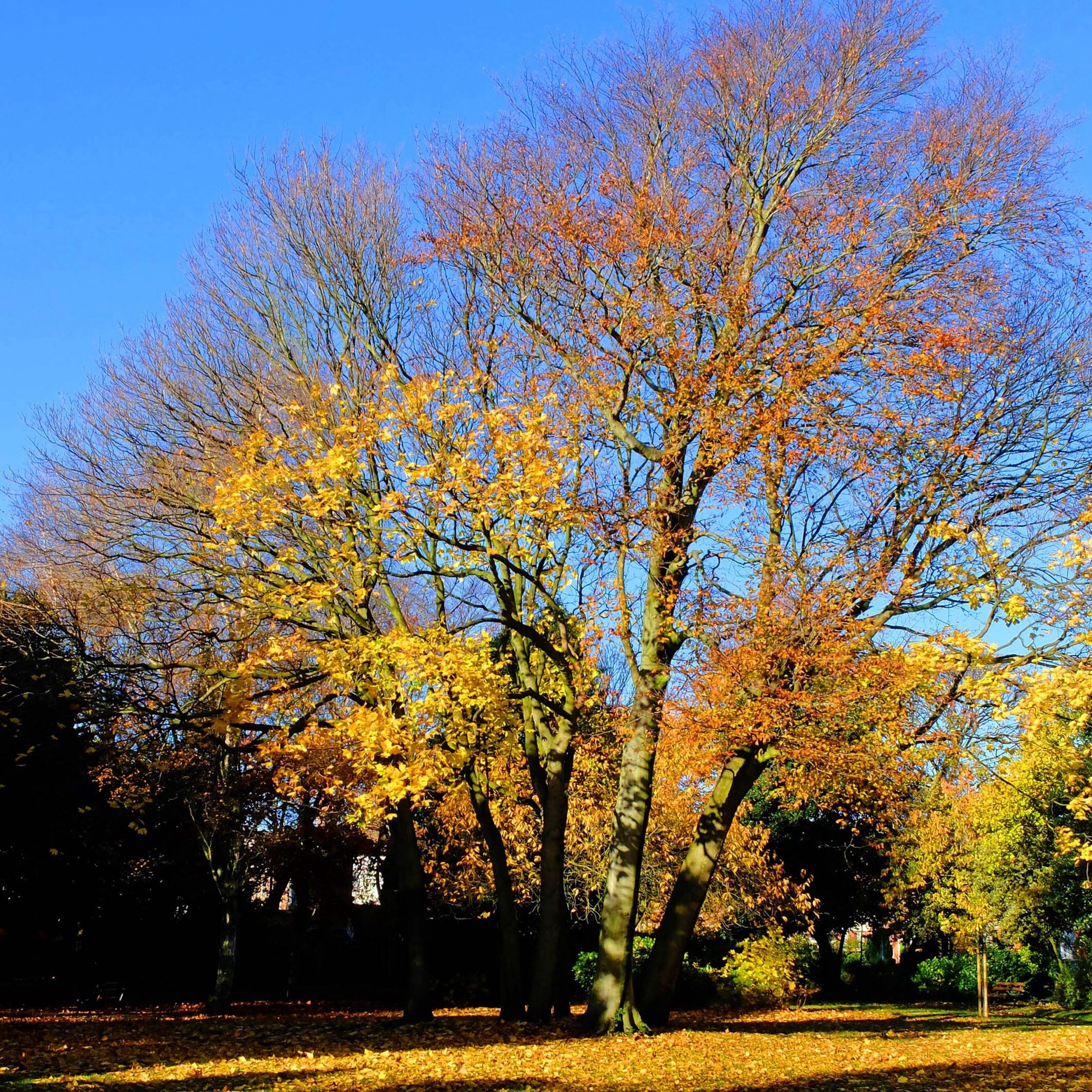 tree, autumn, growth, yellow, tranquility, beauty in nature, change, nature, clear sky, field, branch, tranquil scene, blue, season, scenics, sky, landscape, sunlight, park - man made space, outdoors