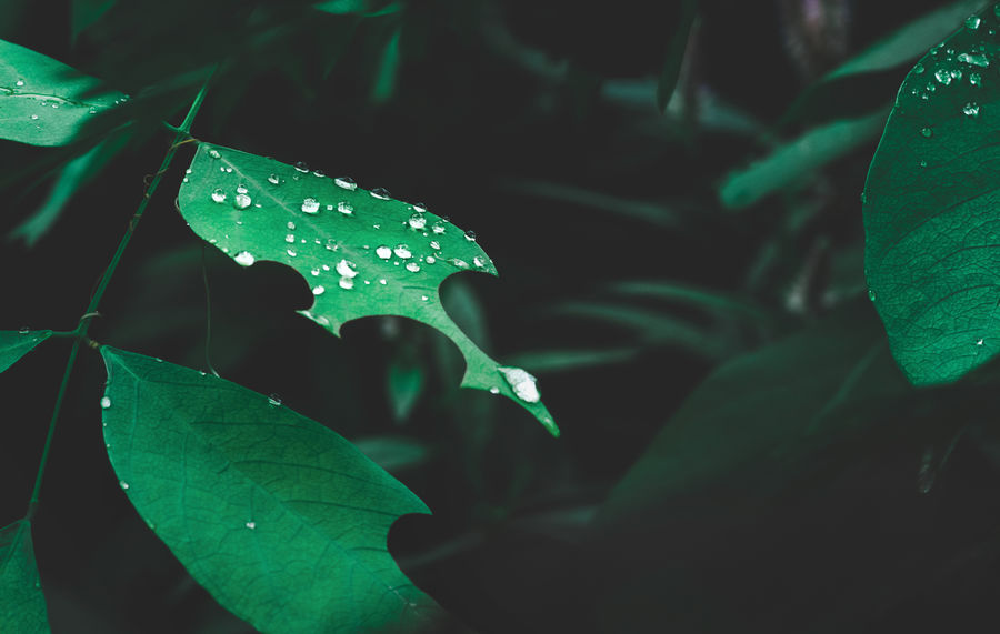 Nature leaf with dew on dark forest background. Rainforest environment. Nature Beauty In Nature Blade Of Grass Close-up Day Dew Drop Environment Freshness Green Color Growth Leaf Leaf Vein Leaves Nature No People Plant Plant Part Purity Rain RainDrop Rainy Season Selective Focus Water Wet