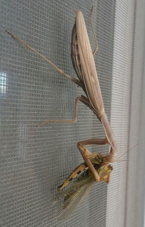 Preying Mantis Preying Mantis Collection Preying Mantis Eating Grasshopper Food Chain
