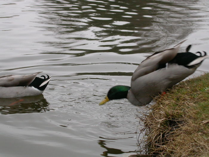 Duck Ducks Falling Falling Into The Sea Falling Into Water Jumping Lake Movement No People Outdoors River Water