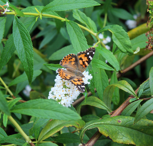 Butterfly Wings Spread Beauty In Nature Animal Wildlife Animal Animals In The Wild Flower Animal Themes Insect One Animal Butterfly - Insect Animal Wing Close-up Nature Focus On Foreground Outdoors Butterfly No People