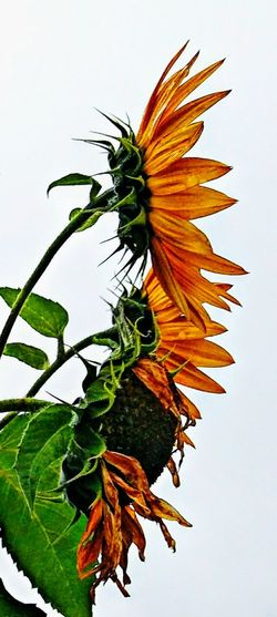 Sunny sisters × three.... ~ Color Of Life Loving The Landscape Garden Flowers Beauty In Nature City Garden Happiness Sunflowers Portland Maine No People Nature Lover Freshness Bright Colors Yellow Orange Flower Lovers Taking A Walk Fall Beauty Flower Leaf Close-up Sky Plant Flower Head