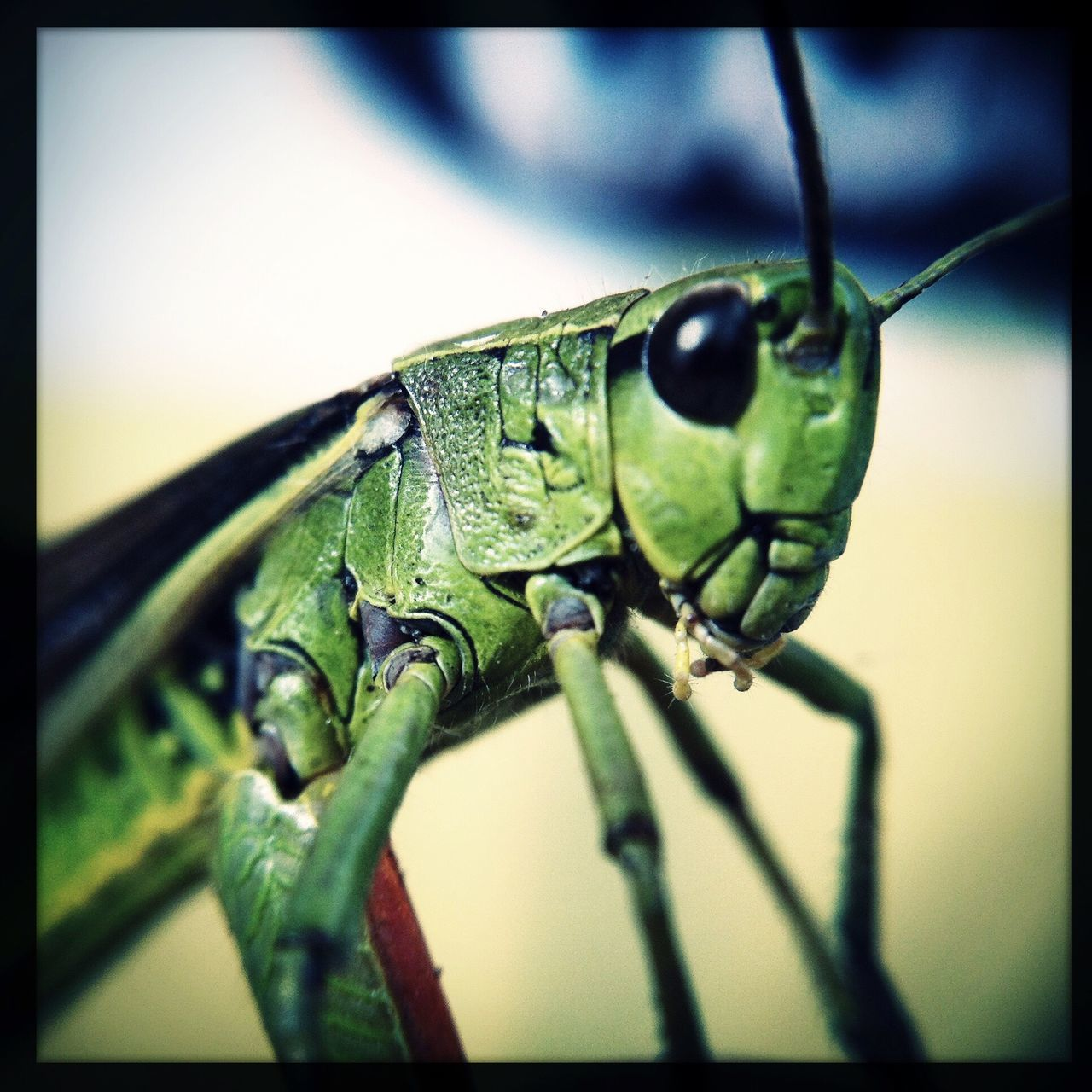 one animal, animal themes, animals in the wild, insect, close-up, wildlife, no people, animal wildlife, green color, selective focus, day, outdoors, nature, grasshopper
