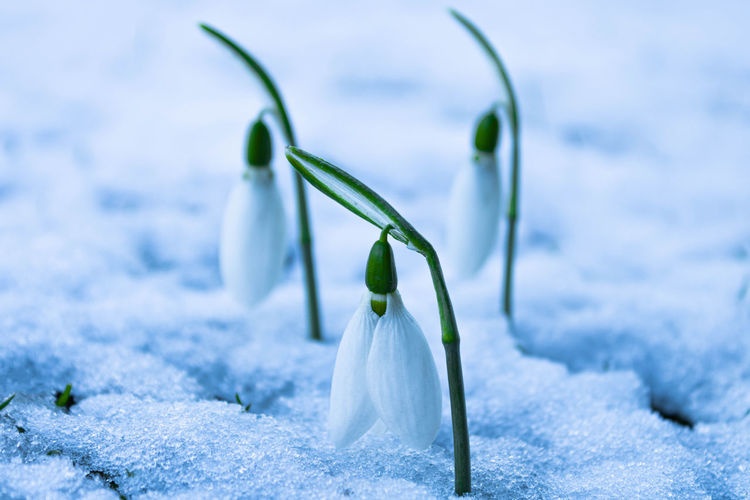 Close-up of white flower on snow covered land