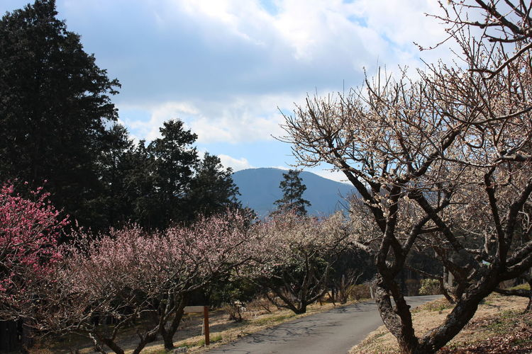 Cherry Blossom Japan Cherry Blossoms Day Landscape Nature Nature Cherry Blossom No People Outdoors Sky Spring Flowers Spring Japan Tree