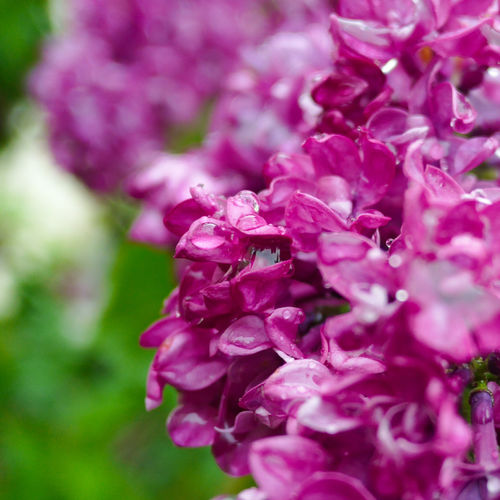 Blooming Blossom Botany Close-up Day Flower Flower Head Flowers & Leaves Focus On Foreground Fragility Freshness Growth In Bloom Macro Nature No People Outdoors Petal Pink Color Plant Purple Selective Focus Softness Spring Tranquility