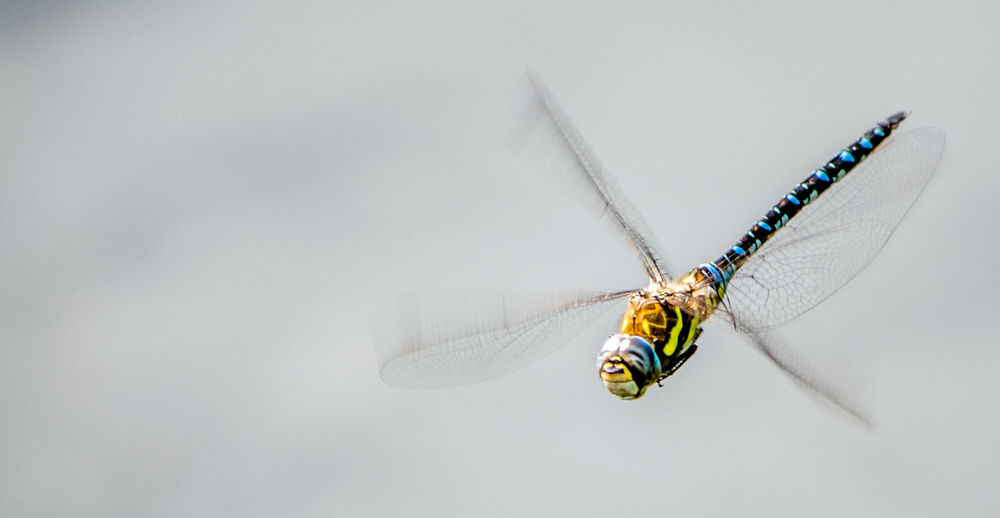 View of flying dragonfly