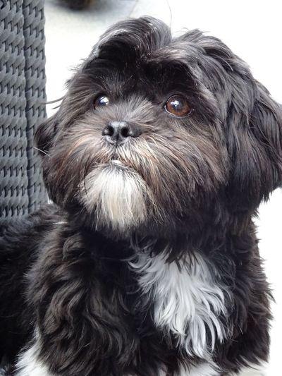 Nala, Shih tzu, puppy, Check This Out Hello World Taking Photos Enjoying Life I Love My Dog Dog Love Animals